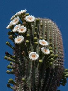 blooming-saguaro