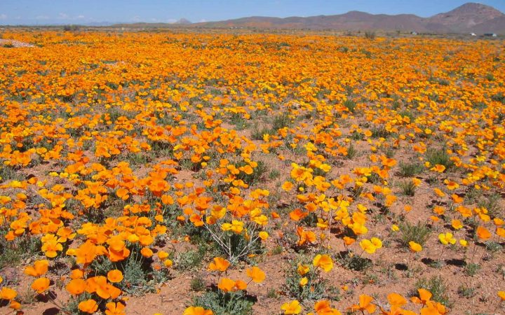 Golden poppies blanket the desert floor