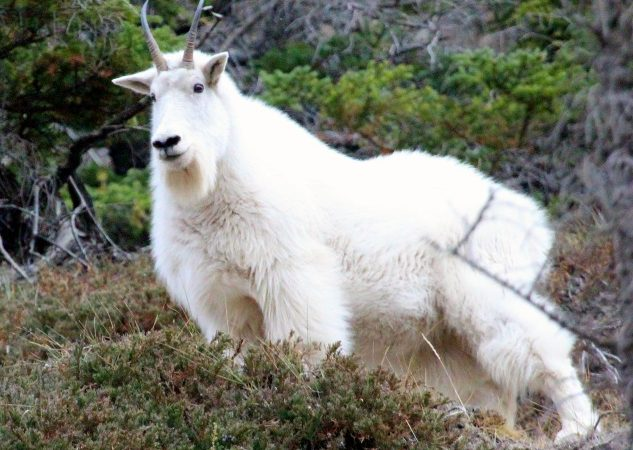 Rocky Mountain Goat in the Canadian Rockies