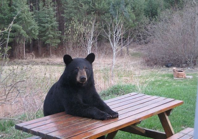bear_picnic_table