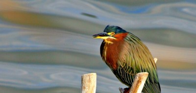 Notice the smooth bokeh and how the Rule of Thirds is used in placing of the green heron with space for the bird to move into the frame.© Rex Vogel, all rights reserved
