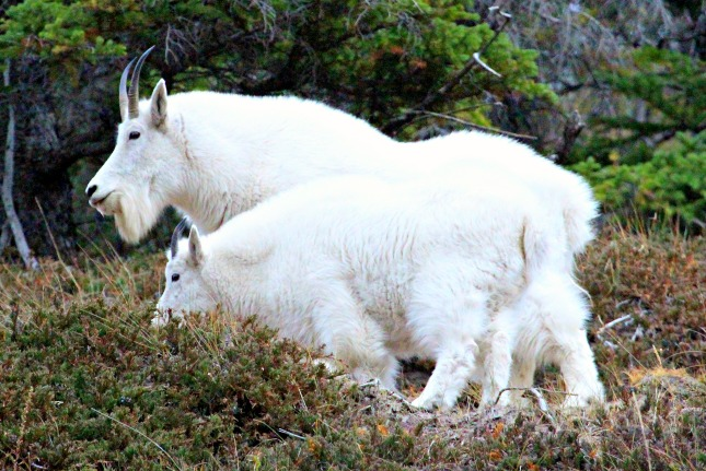 Rocky Mountain Goats in the Canadian Rockies. © Rex Vogel, all rights reserved
