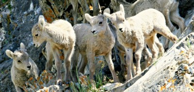 Rocky Mountain Sheep. © Rex Vogel, all rights reserved