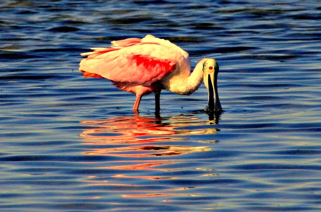 Roseate Spoonbill feeding at South Padre Island World Birding Center, Texas © Rex Vogel, all rights reserved