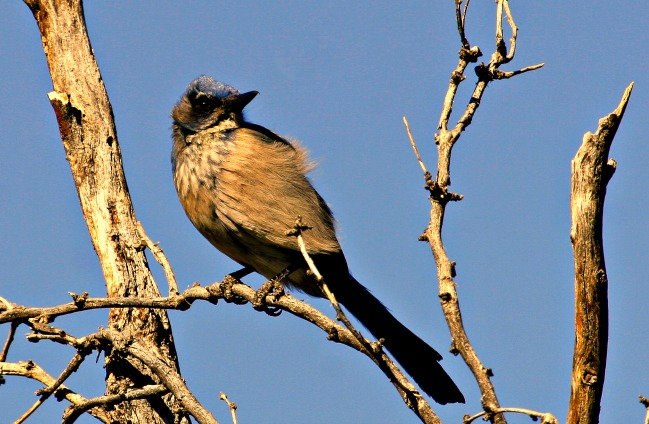 Scrub Jay at Catalina State Park near Tucson, Arizona © Rex Vogel, all rights reserved.