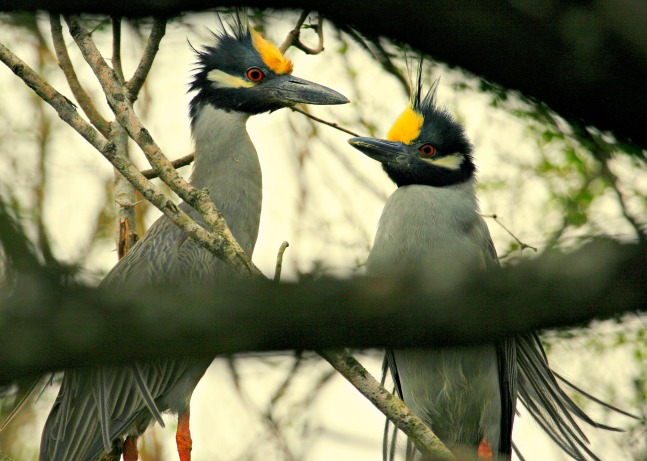Pair Yellow-crowned Night Herons at the Valley Nature Center, Weslaco, Texas © Rex Vogel, all rights reserved.