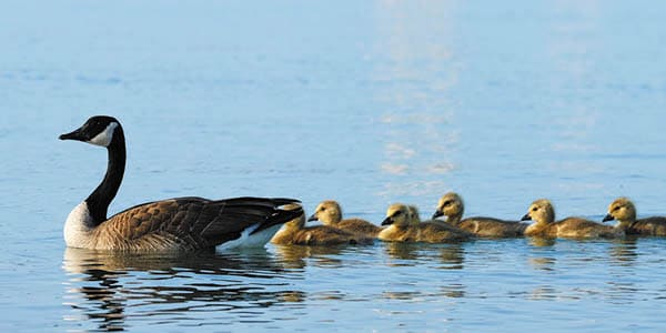 A mother duck swims at the front of a line of 6 ducklings.
