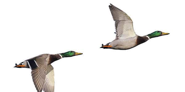 A pair of mallard ducks take wing against a white background.