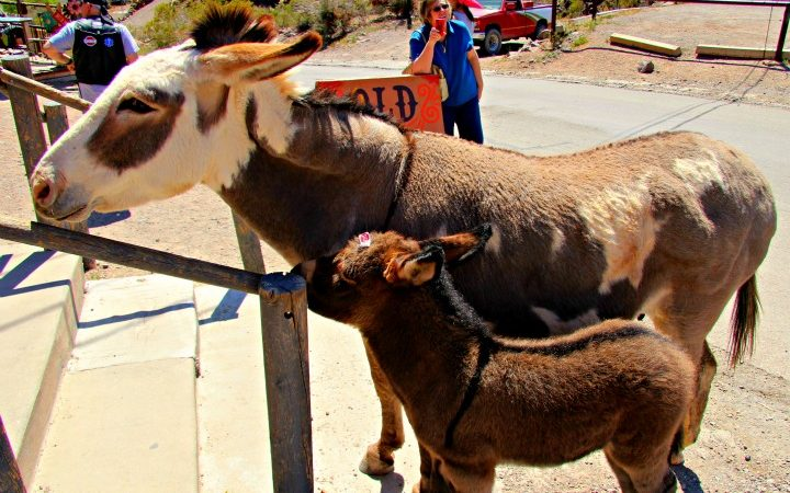 Oatman, a living ghost town with burros as a main attraction. © Rex Vogel, all rights reserved