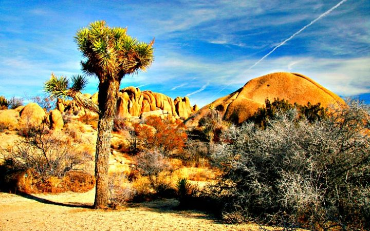 Related to the yucca bush, the Joshua tree was named by Mormon pioneers heading west. © Rex Vogel, all rights reserved