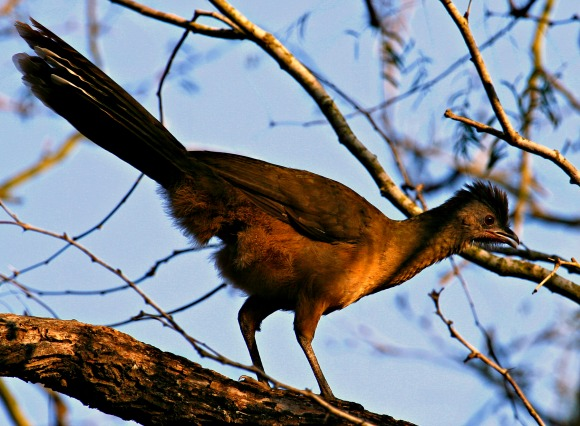 Plain Chachalaca © Rex Vogel, all rights reserved