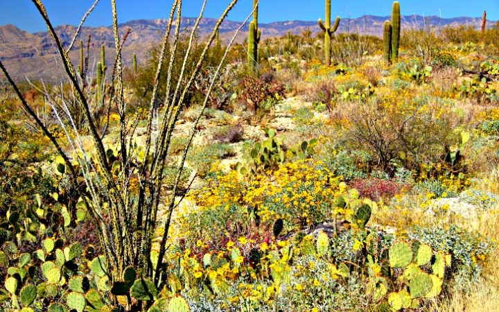 Saguaro National Park near Tucson © Rex Vogel, all rights reserved
