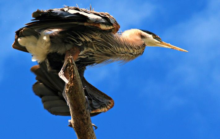 Great blue heron at Venice Audubon Rookery. © Rex Vogel, all rights reserved
