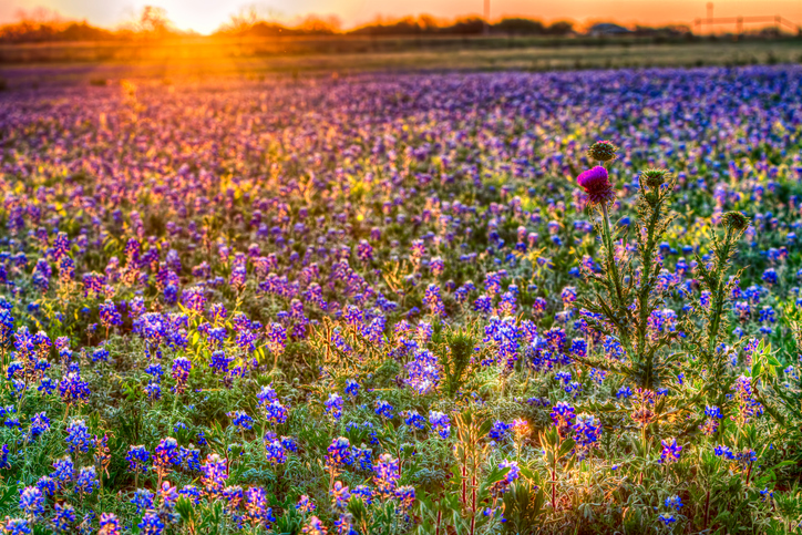 A field of bluebonnets, bathed in dusk light, stretches all the way to a horizon behind which the sun sets.