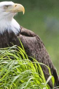 Cajun Coast, Bald eagle