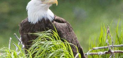 Cajun Coast, Bald eagle