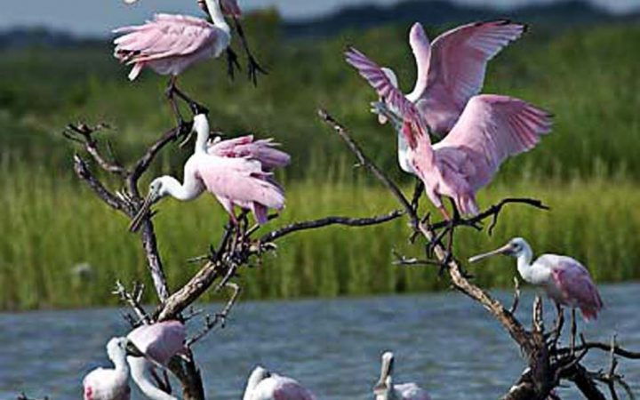 Port Aransas - Spoonbill birds