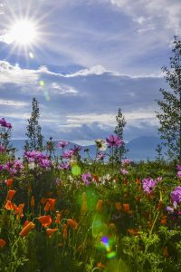 Angel Fire Resort - wild flowers