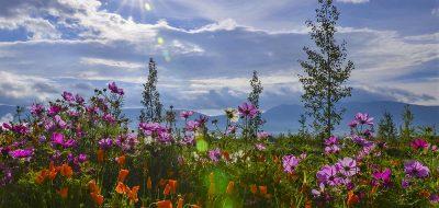 Angel Fire Resort - wild flowers