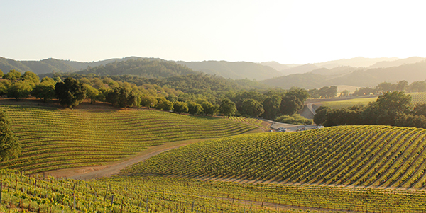 Rows of grapes occupy a rolling landscape.