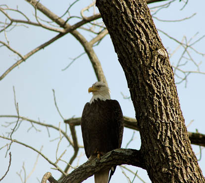 Tucquan Park Family Campground - golden eagle