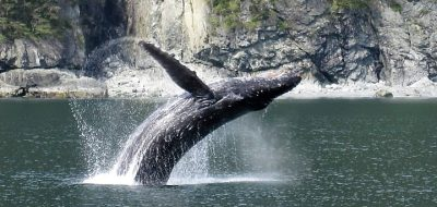 Stan Stephens Cruises - humpback wehale breaching Prince William Sound
