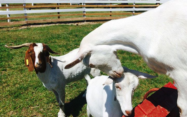 Red Gate RV Park and Campground - goats