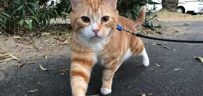 Leash walk your camping cat