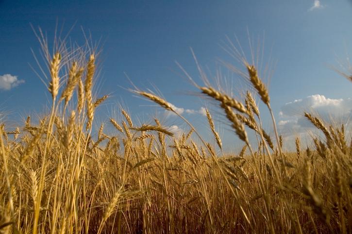 Camp A Way - wheat field