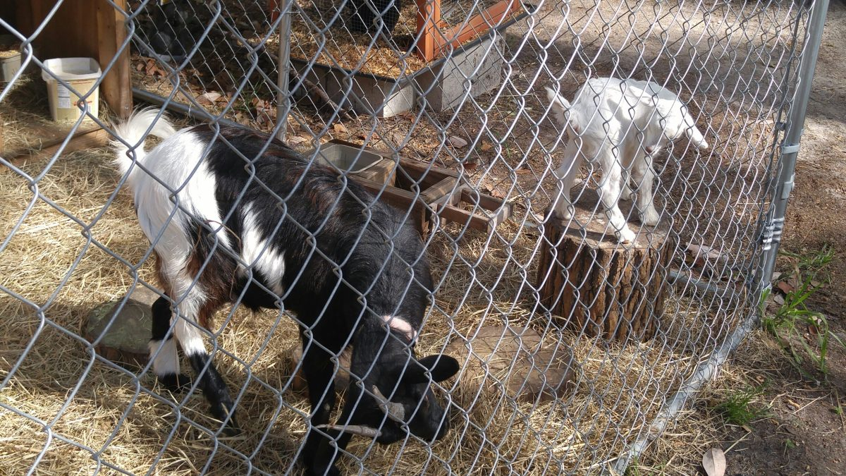 Jacksonville North/St. Mary's KOA - petting zoo goats