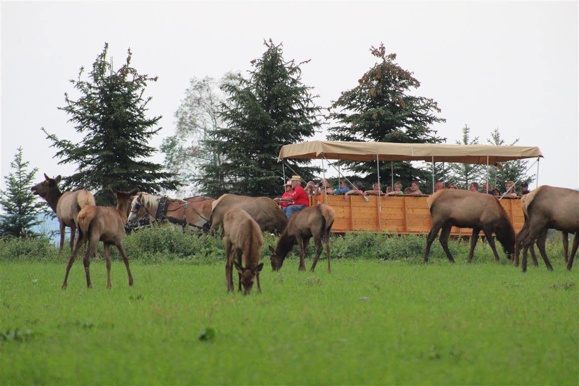 Woodland Campground - elk