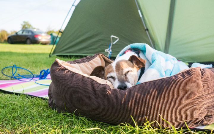 jack russell dog sleeping on bed grass