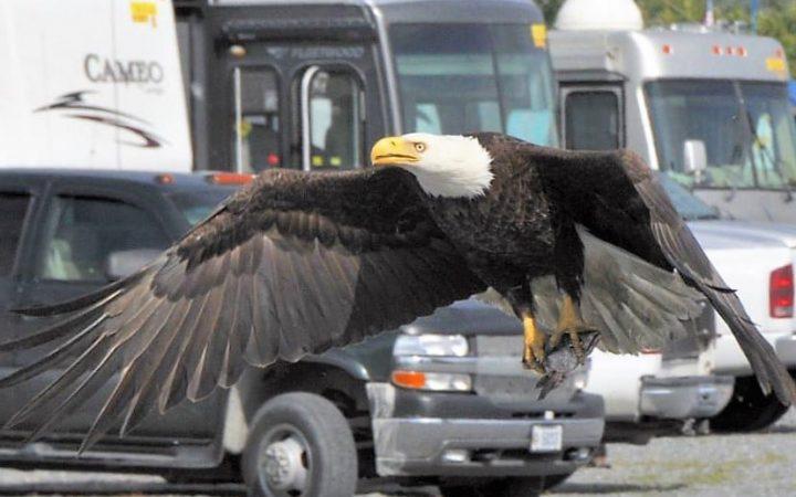 Close up photo of Eagle soaring majestically