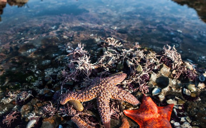 Colorful Ochre starfish and a Bat starfish feed on mussels and barnacles in a tide pool along the coast of northern California. Tide pools on the west coast support a wide variety of marine life.