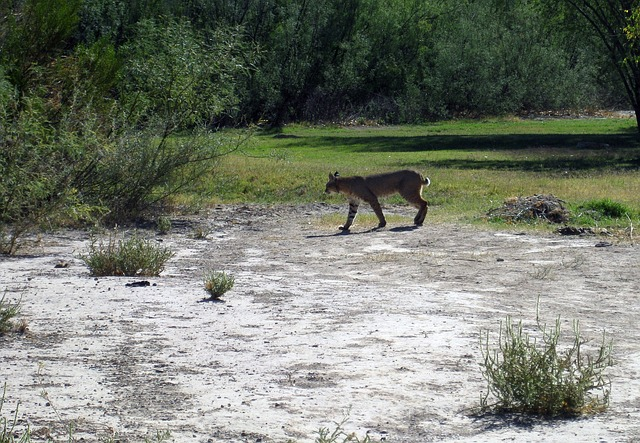 Mountain lion walking across an open grassy area.