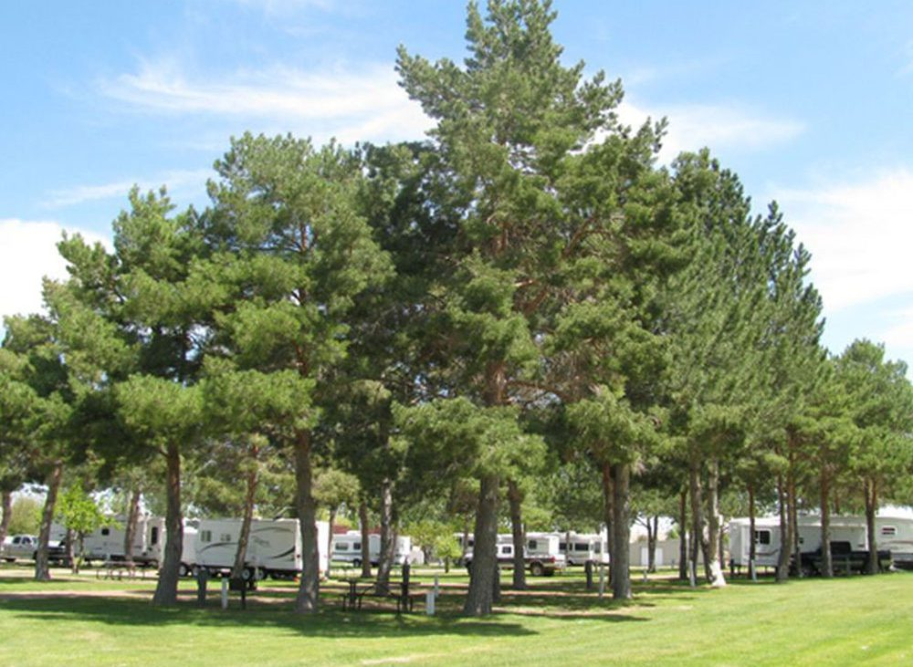 Large leaved trees surrounding RVs at Anderson Camp
