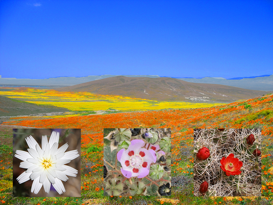 Wildflower bloom of yellow and orange with three small thumbnails of flowers close up