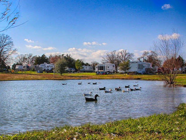 Numerous ducks floating atop lake with trailers in background