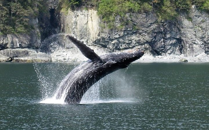 large whale splashing down into the Prince William Sound in Alaska