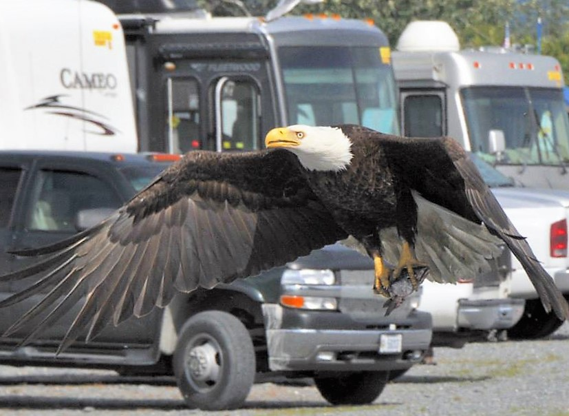 Close Up of Eagle flying in front of RV at RV Park