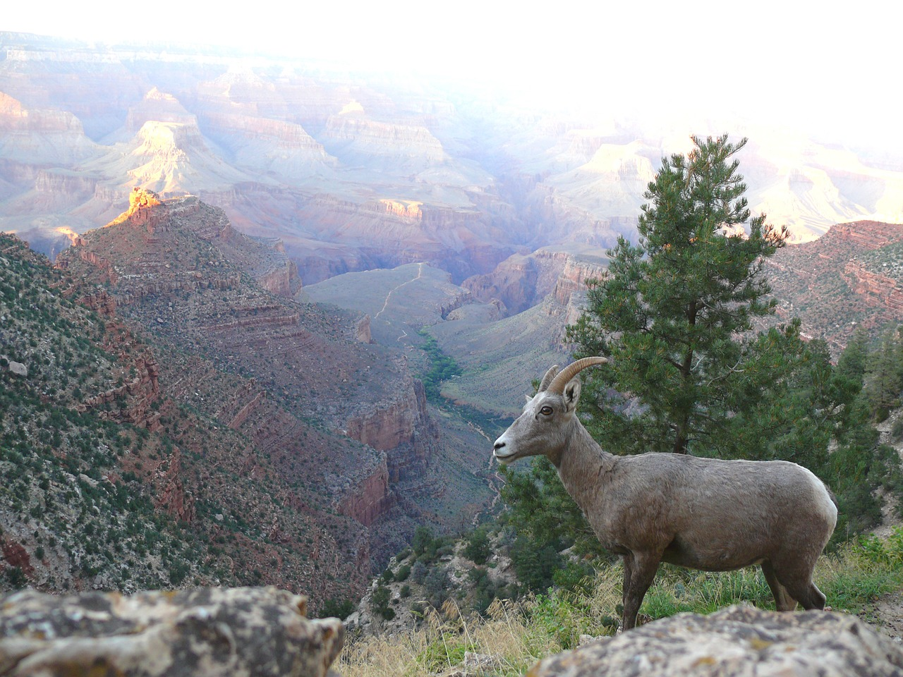Mountain sheep navigates a slope overlooking the Grand Canyon.