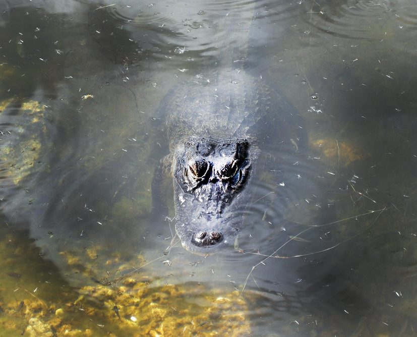 An alligator lurks in the Blue Hole in Big Pine Key.
