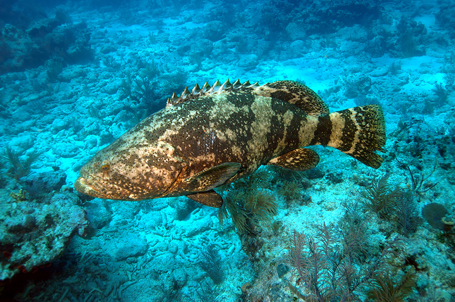 A goliath grouper swimming close to the ocean floor in Dry Tortugas National Park.