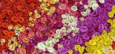 Closeup view of beautiful wall made of red, pink, violet, purple, white and yellow rose flowers. Valentines day background