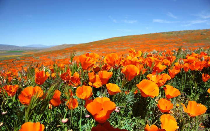 California Poppys on side of hill