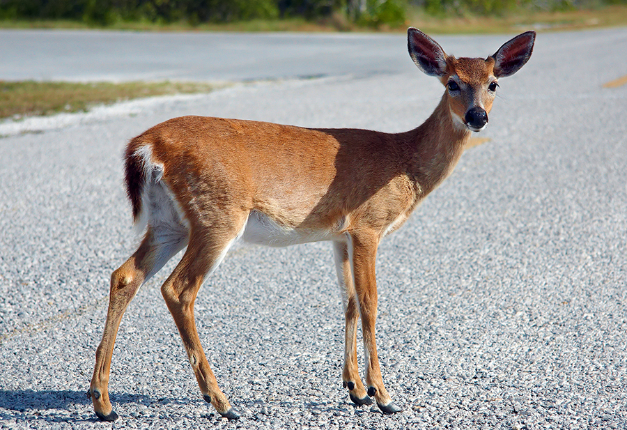 A Key deer on a roadway in Big Pine Key, Florida, a common animal encounter.
