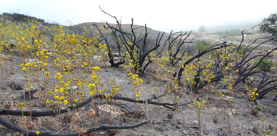 Yellow tarweed flowers grow amid singed shrubs.