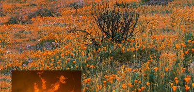 A field of orange poppies on a Southern California hillside.