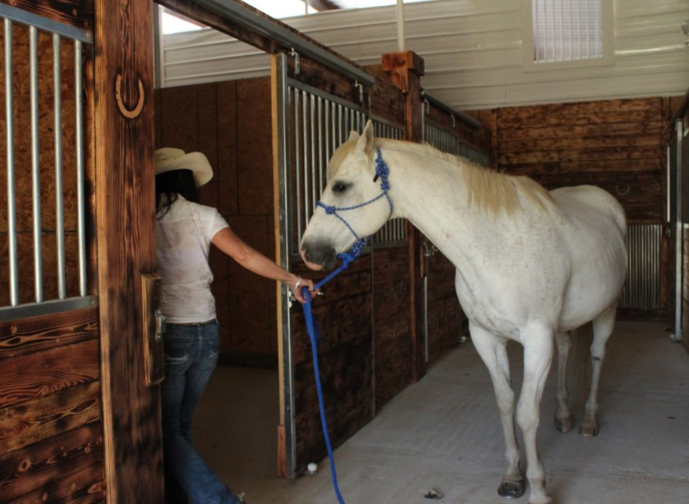 Woman leading a large white horse into stable