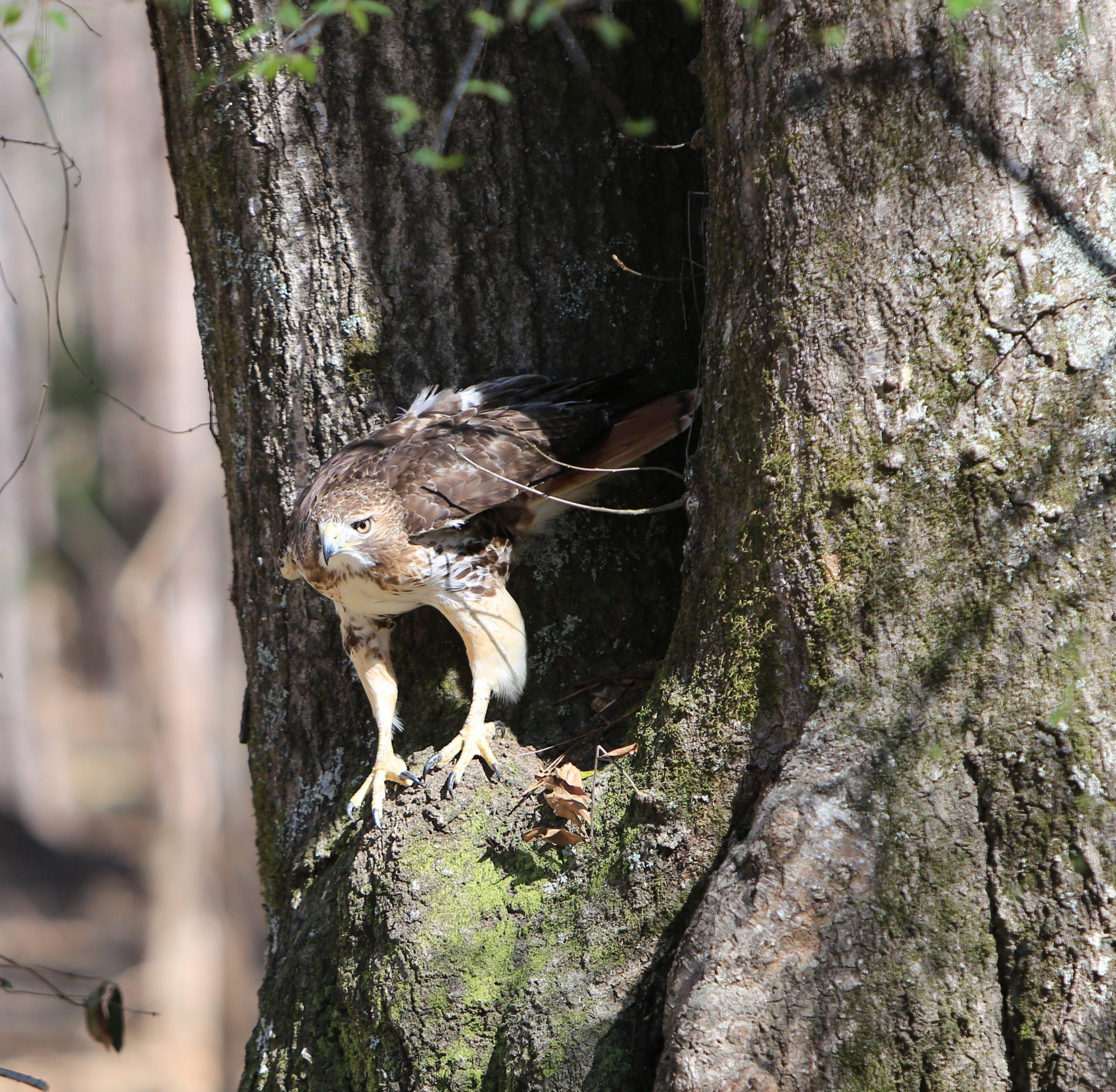Hawk perched on tree